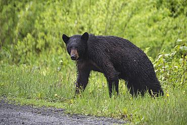 Wet bear standing in grass