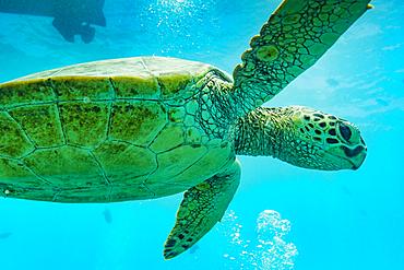 Close up of swimming sea turtle