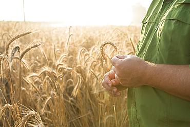 Hands of Caucasian man examining wheat
