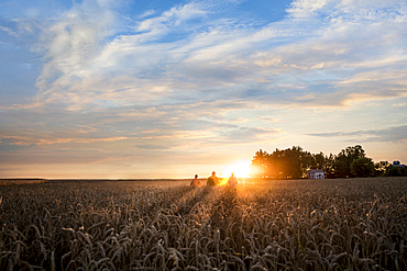Distant Caucasian men in field of wheat at sunset