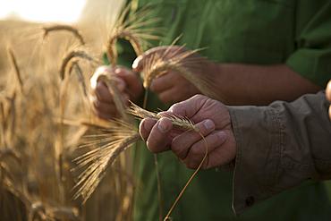 Caucasian men examining wheat