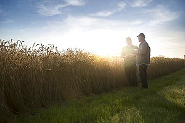 Caucasian men talking near field of wheat