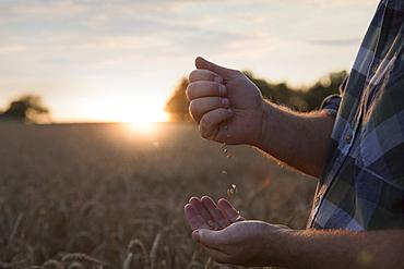 Hands of Caucasian man examining wheat in field