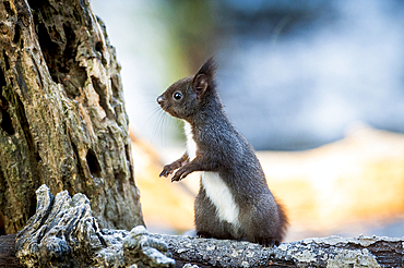 Portrait of alert squirrel on log