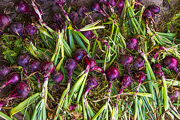 Fresh picked red onions on ground
