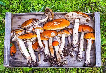 Fresh picked mushrooms on wooden tray