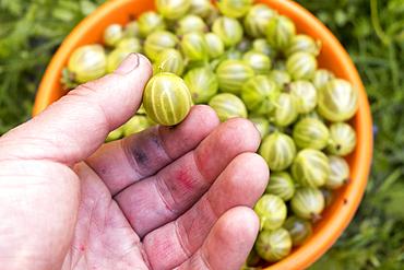 Hand holding organic green tomato