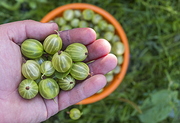 Hand holding organic green tomatoes