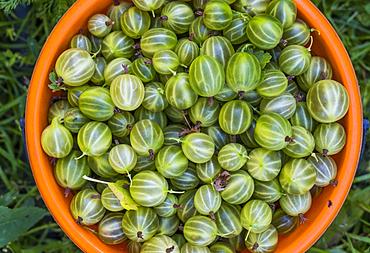 Basket of organic green tomatoes