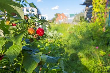 Raspberries ripening in garden