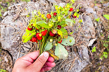 Hand holding bouquet of strawberries over tree stump