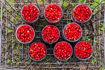 Jars of red strawberries in metal bin
