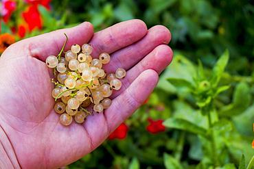 Hand holding white berries