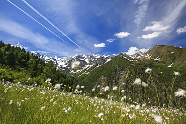 Sunny day on cotton grass surrounded by green meadows, Orobie Alps, Arigna Valley, Sondrio, Valtellina, Lombardy, Italy, Europe