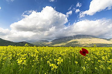 Blooming of yellow flowers and red poppies, Castelluccio di Norcia, Province of Perugia, Umbria, Italy, Europe