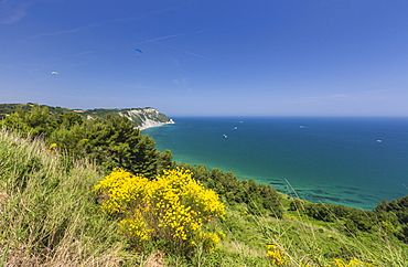 Yellow flowers on the promontory overlooking the turquoise sea, Province of Ancona, Conero Riviera, Marche, Italy, Europe