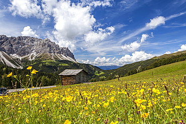 Yellow flowers in spring in the Funes Valley in the Dolomites, South Tyrol, Italy, Europe
