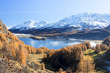 Colorful woods around Lake Sils with snowy peaks in the background, Maloja, Canton of Graubunden, Swiss Alps, Switzerland, Europe