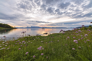 Green meadows and flowers frame the sea under the pink clouds of the midnight sun, Vidrek, Ofotfjorden, Nordland, Norway, Scandinavia, Europe