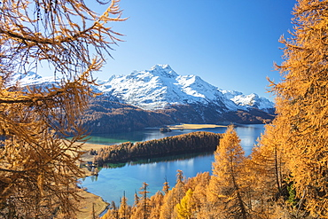 Colorful woods around Lake Sils framed by snowy peaks in the background, Maloja, Canton of Graubunden, Engadine, Switzerland, Europe