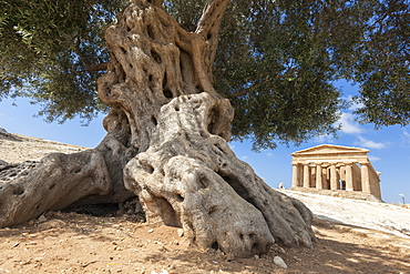 An olive tree frames the ancient Temple of Concordia in the archeological site of Valle dei Templi, Agrigento, UNESCO World Heritage Site, Sicily, Italy, Europe
