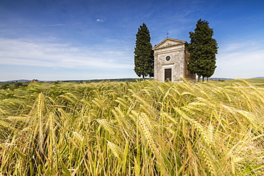 Fields of ears of corn on the gentle green hills of Val d'Orcia, UNESCO World Heritage Site, Province of Siena, Tuscany, Italy, Europe