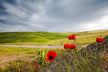 Red flowers and clouds frame the gentle green hills of Val d'Orcia, UNESCO World Heritage Site, Province of Siena, Tuscany, Italy, Europe