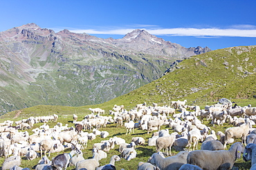 Sheep in the green pastures surrounded by rocky peaks, Val Di Viso, Camonica Valley, province of Brescia, Lombardy, Italy, Europe