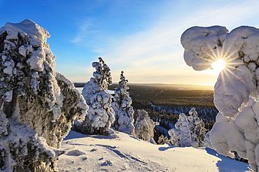 Sun and blue sky frame the the frozen tree branches in the snowy woods, Ruka, Kuusamo, Ostrobothnia region, Lapland, Finland, Europe