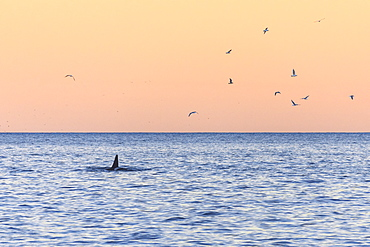 A killer whale in the cold sea framed by seagulls flying in pink sky at dawn, Tungeneset, Senja, Troms, Norway, Scandinavia, Europe