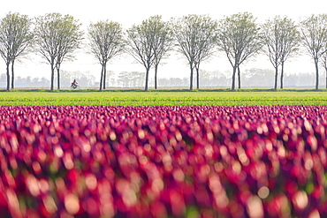 Colourful fields of tulips in bloom and bicycle in the countryside at dawn, De Rijp, Alkmaar, North Holland, Netherlands, Europe