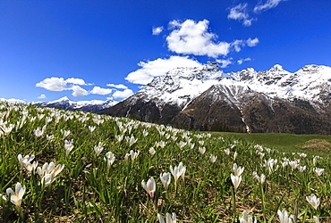 Green meadows covered with blooming crocus framed by snowy peaks in spring, Barchi, Malenco Valley, Valtellina, Lombardy, Italy, Europe