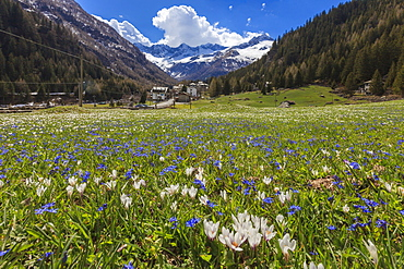Colorful flowers on green meadows framed by the alpine village of Chiareggio, Malenco Valley, Valtellina, Lombardy, Italy, Europe