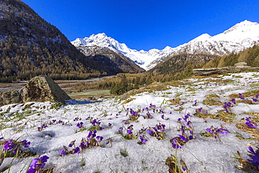 Colorful flowers on the grass covered by snow during the spring thaw, Chiareggio, Malenco Valley, Valtellina, Lombardy, Italy, Europe
