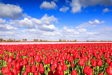 Blue sky and sun on fields of red tulips during spring bloom, Oude-Tonge, Goeree-Overflakkee, South Holland, The Netherlands, Europe