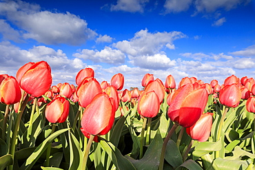 Close up of red tulips during spring bloom in the fields of Oude-Tonge, Goeree-Overflakkee, South Holland, The Netherlands, Europe