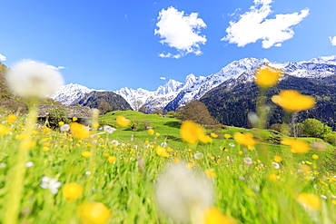 Dandelions and flowers framed by snowy peaks, Soglio, Maloja, Bregaglia Valley, Engadine, canton of Graubunden, Switzerland, Europe