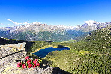 Rhododendrons and Lake Palu framed by Mount Disgrazia seen from Monte Roggione, Malenco Valley, Valtellina, Lombardy, Italy, Europe