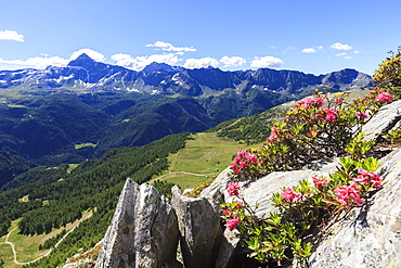 Rhododendrons framed by green woods and Pizzo Scalino seen from Monte Roggione, Malenco Valley, Valtellina, Lombardy, Italy, Europe
