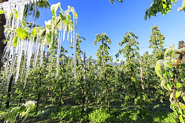 Blue sky over the apple orchards covered with ice in spring, Villa of Tirano, Sondrio province, Valtellina, Lombardy, Italy, Europe