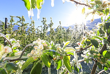 Close up of apple orchards covered with ice in spring, Villa of Tirano, Sondrio province, Valtellina, Lombardy, Italy, Europe