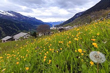 First lights of dawn on meadows of yellow flowers, Soglio, Maloja, Bregaglia Valley, Engadine, Canton of Graubunden, Switzerland, Europe
