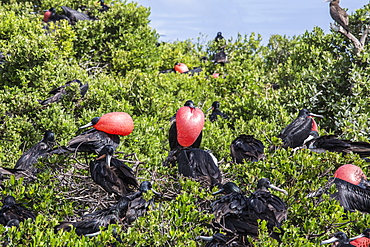 A group of male frigate birds with red throat pouches oversees females with chicks to prevent attack by predators, Barbuda, Antigua and Barbuda, Leeward Islands, West Indies, Caribbean, Central America