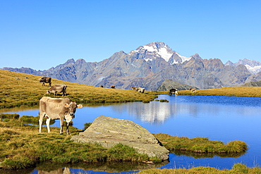 Cows grazing on the shore of Lakes of Campagneda, Malenco Valley, Province of Sondrio, Valtellina, Lombardy, Italy, Europe
