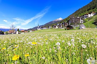 Dandelion in bloom, Alvaneu, District of Albula, Canton of Graubunden, Switzerland, Europe