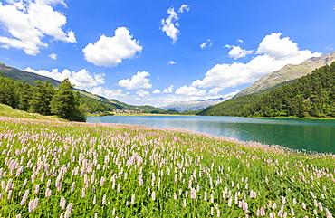 Spring bloom of Persicaria bistorta at Lej da Champfer, St. Moritz, Upper Engadine, Canton of Graubunden, Switzerland, Europe