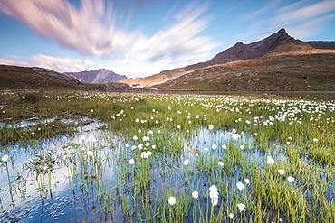 Sunrise on fields of cotton grass, Gavia Pass, Valfurva, Valtellina, Lombardy, Italy, Europe
