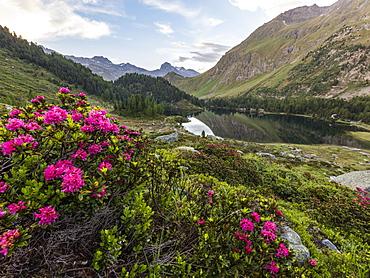 Rhododendrons on the shore of Lake Cavloc, Maloja Pass, Bregaglia Valley, Engadine, Canton of Graubunden, Switzerland, Europe