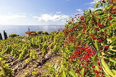 Red berries in cultivated fields, Pomonte, Marciana, Elba Island, Livorno Province, Tuscany, Italy, Europe
