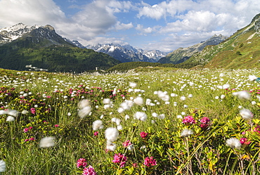 Meadows of rhododendrons and cotton grass, Maloja, Bregaglia Valley, Engadine, Canton of Graubunden (Grisons), Switzerland, Europe